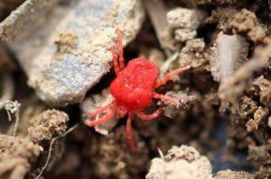 araignée rouge acarien insectes Ajaccio Bastia corse désinsectisation professionnel traitement